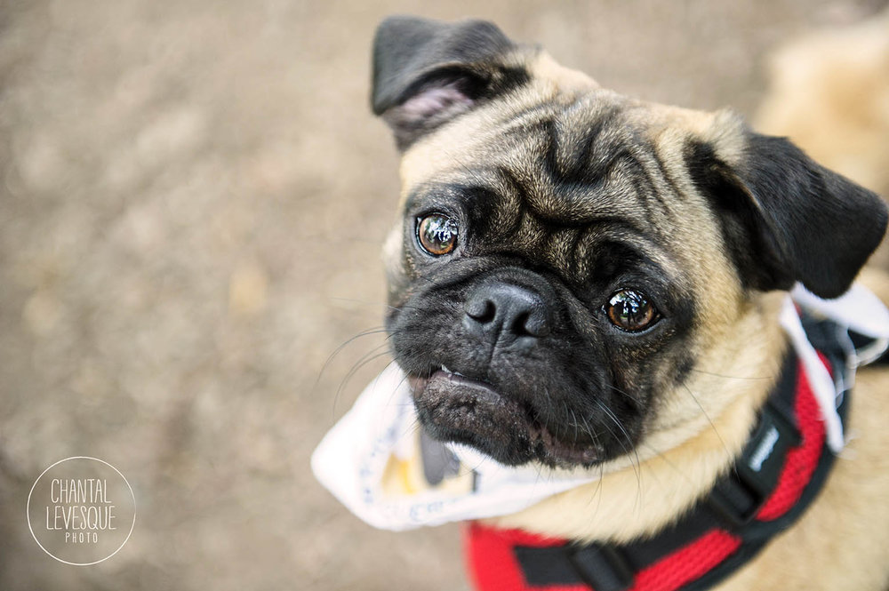 adorable-pug-portrait