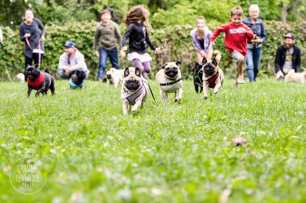 pugs-race