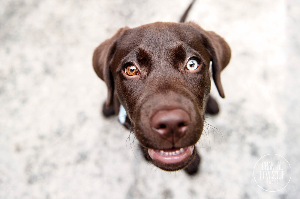 goofy-labrador-puppy