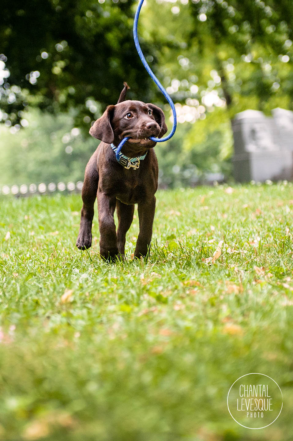 labrador-puppy-leash