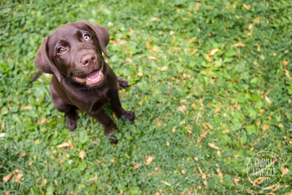 chocolate-lab-puppy-smile