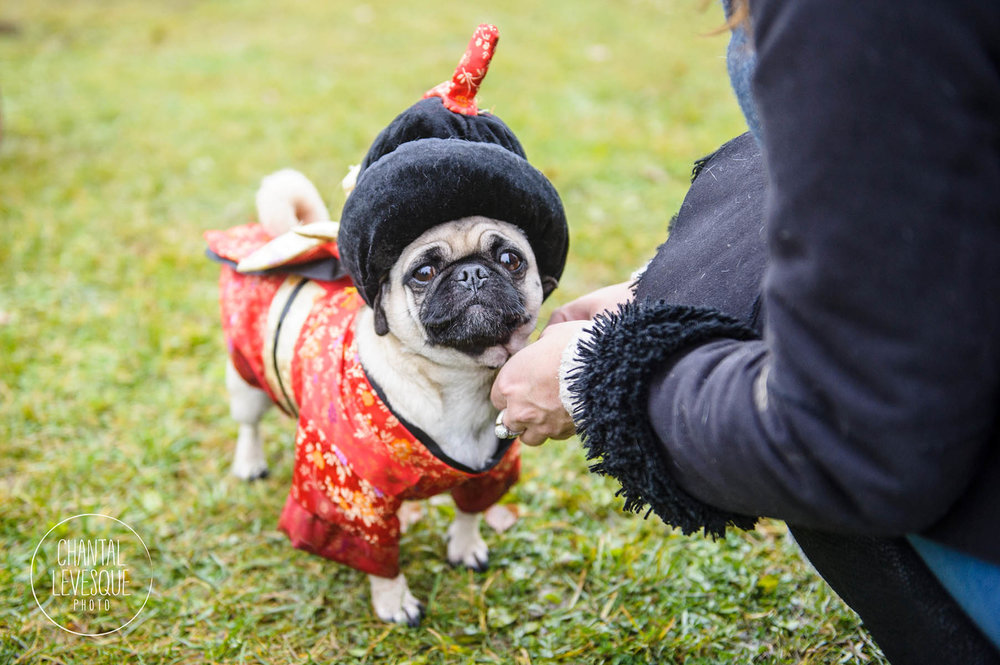 pug-geisha-costume