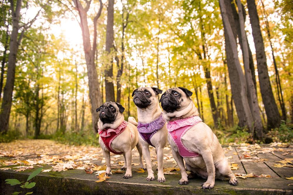 pugs-fall-4696.jpg