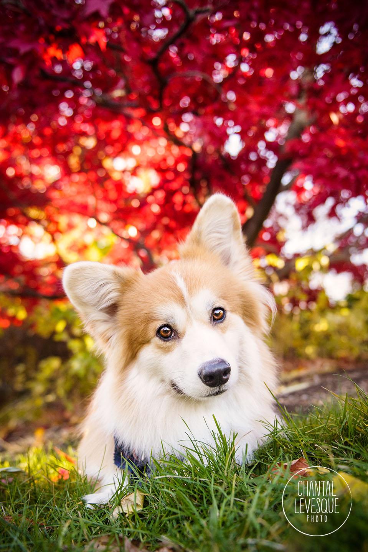 corgi-fall-portrait