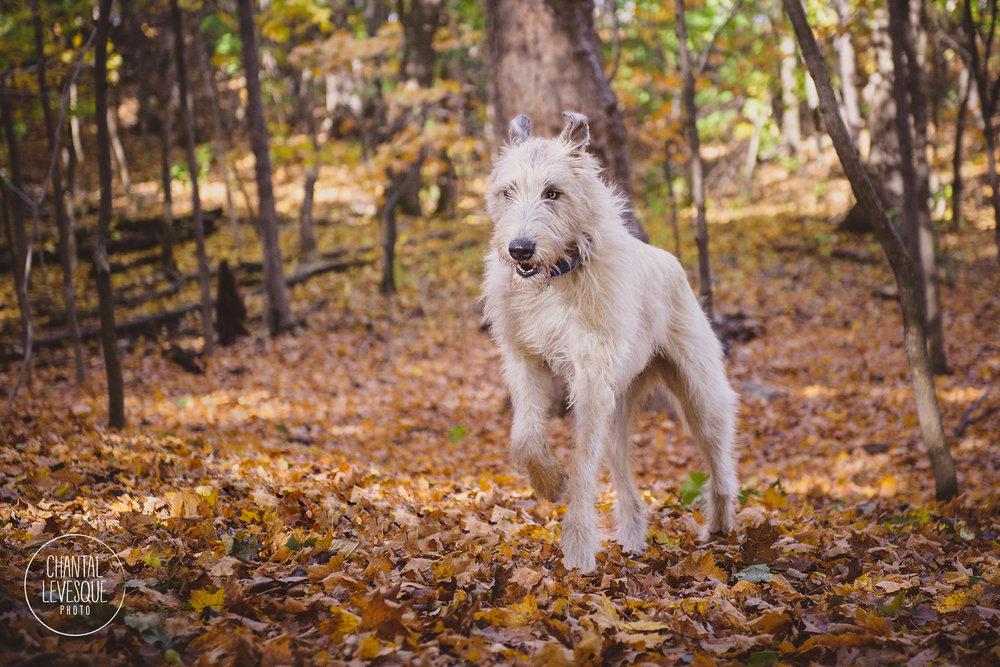 irish-wolfhound-run