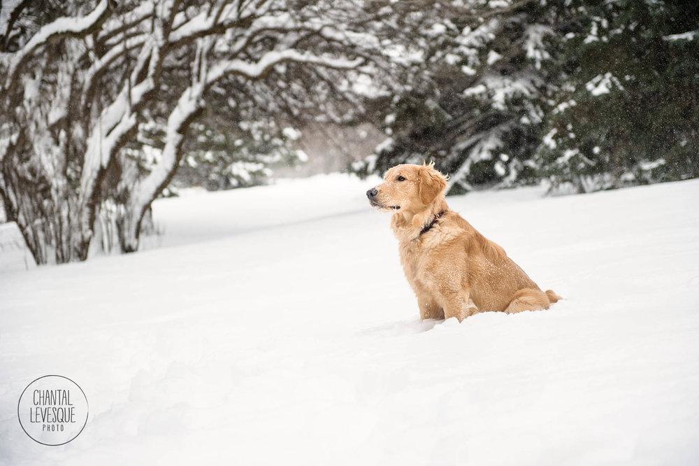golden-retriever-snow