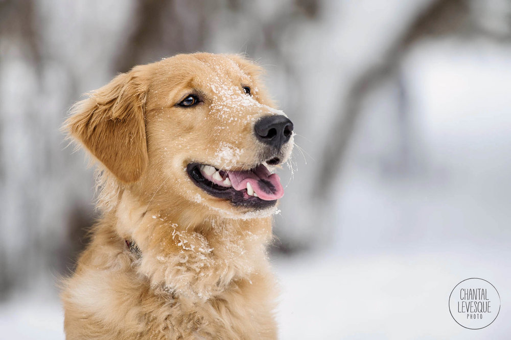 golden-retriever-portrait