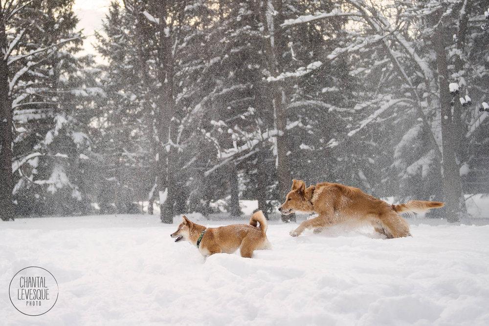 dogs-run-snow