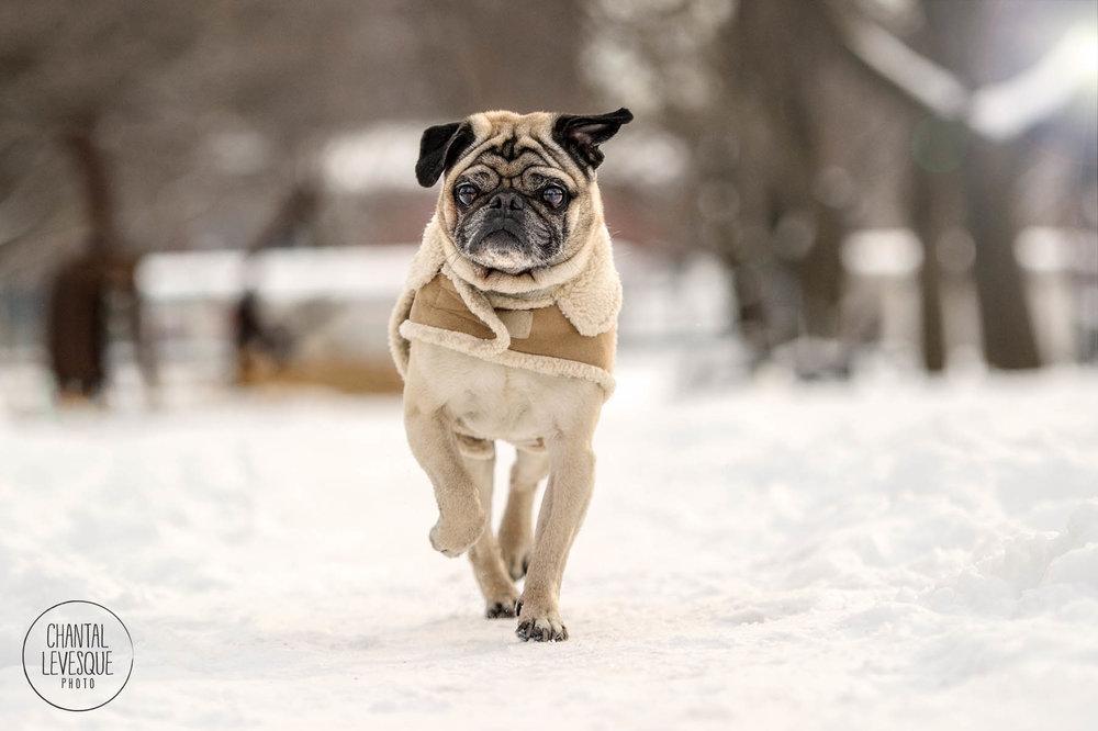 pug-run