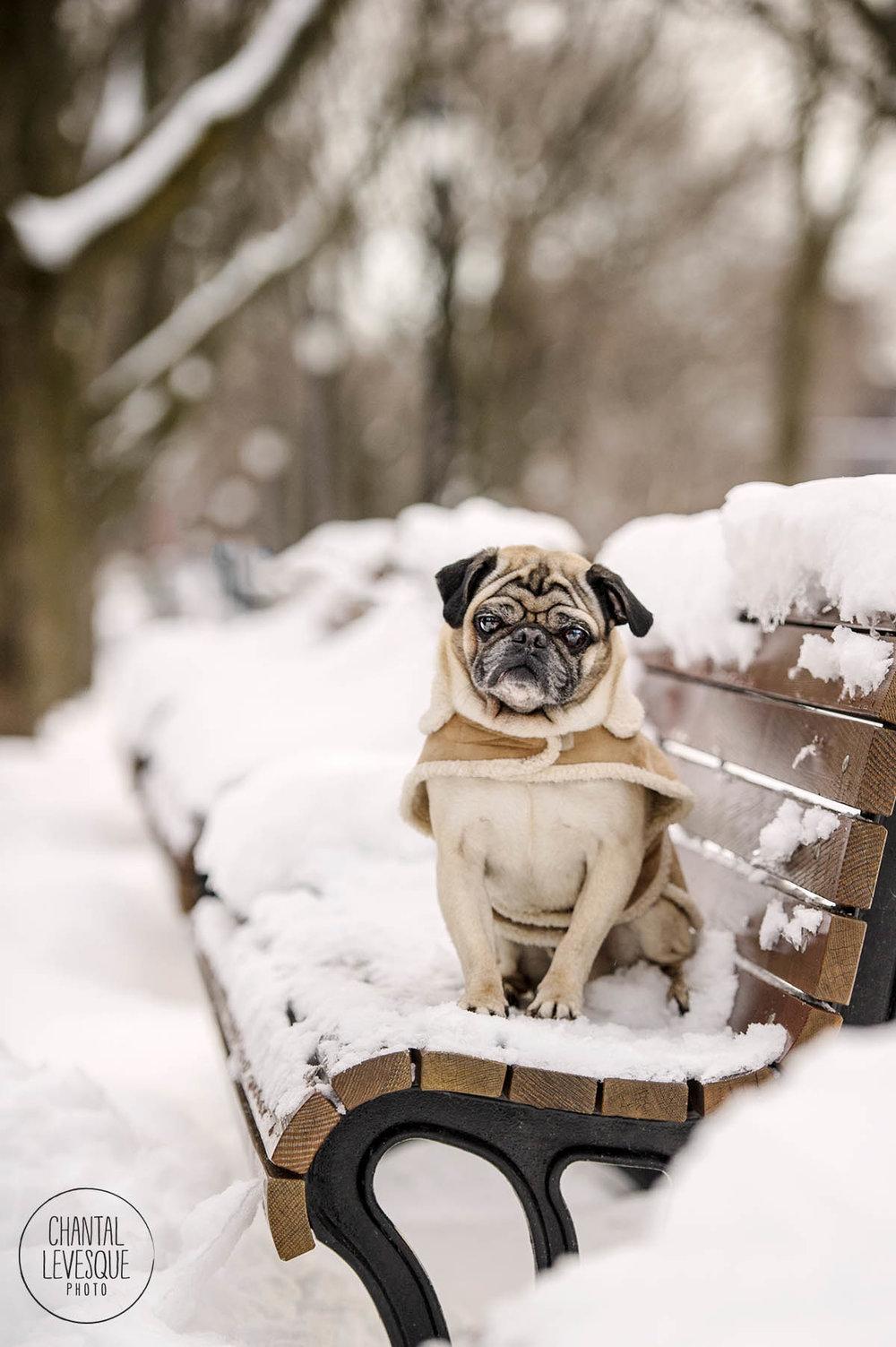 pug-winter