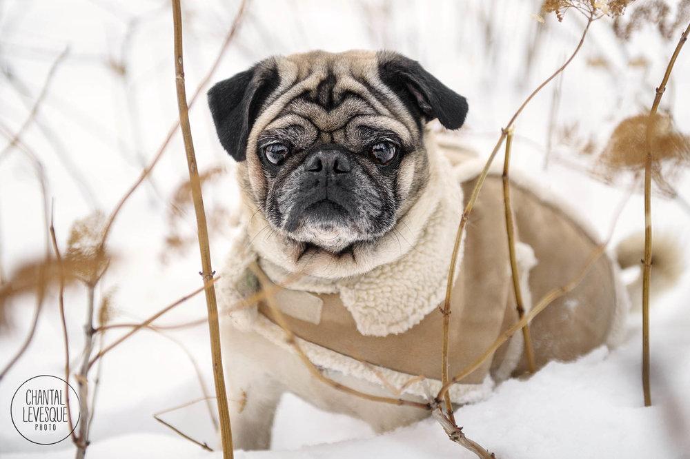 pug-snow