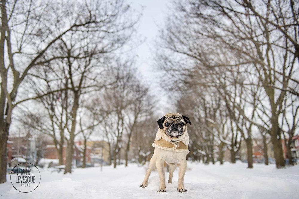 pug-winter-park