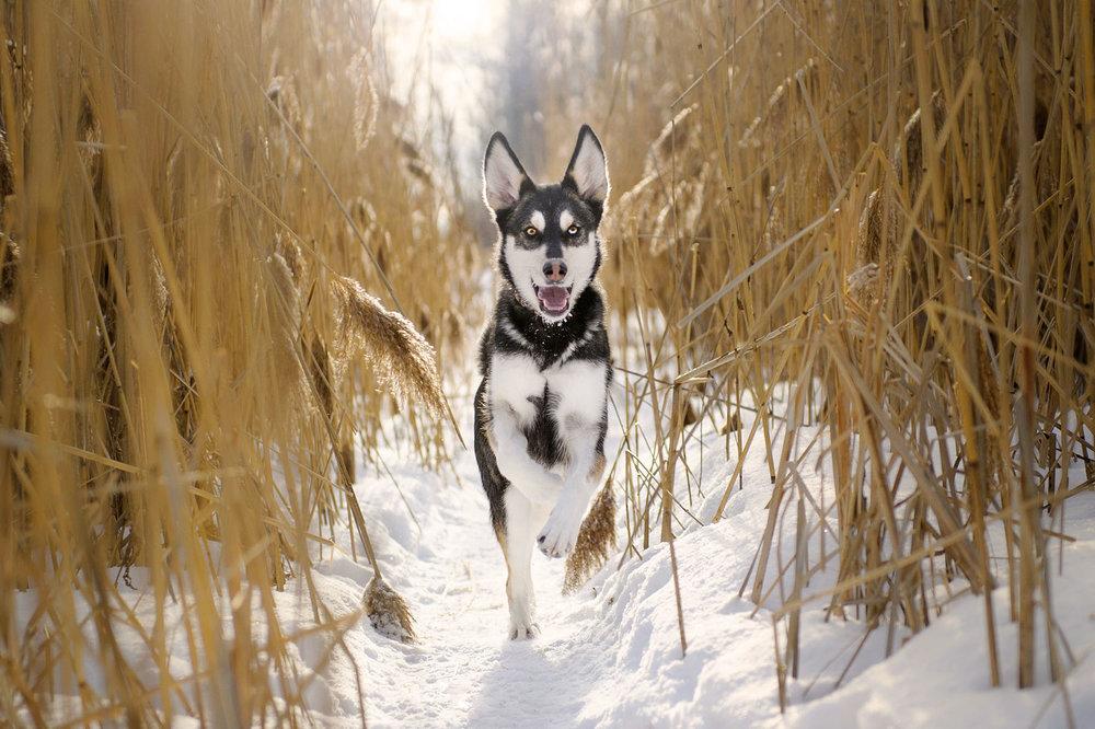 Husky-running-snow-6441.jpg
