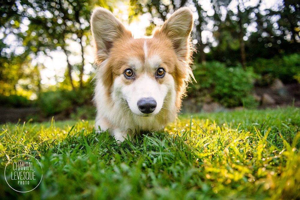 corgi-photography