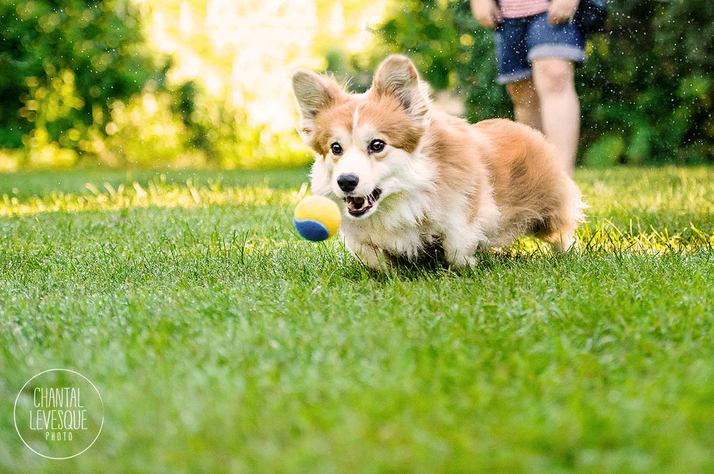 corgi-action-photography