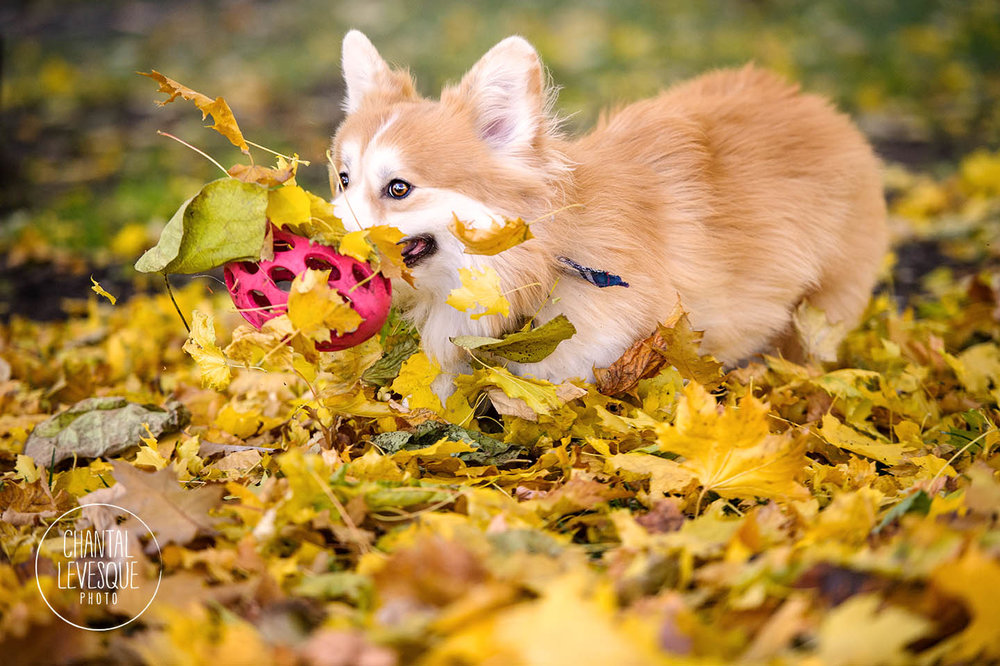 corgi-play-leaves