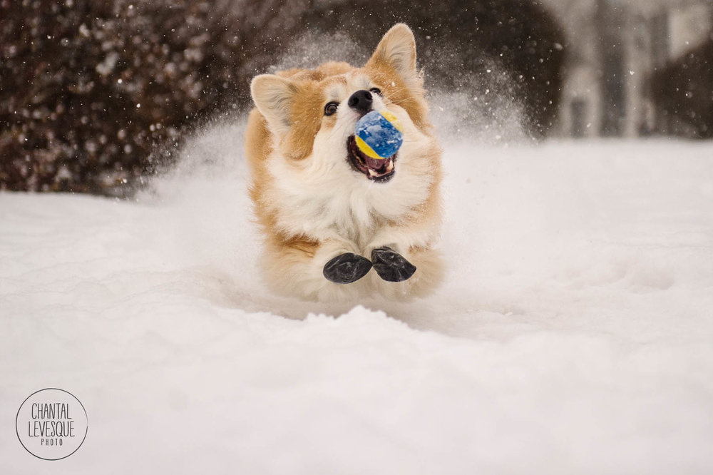 corgi-snow-photography