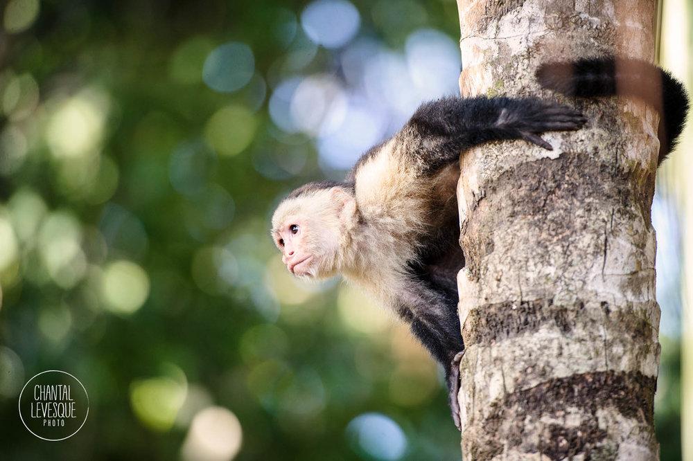 costa-rica-monkey
