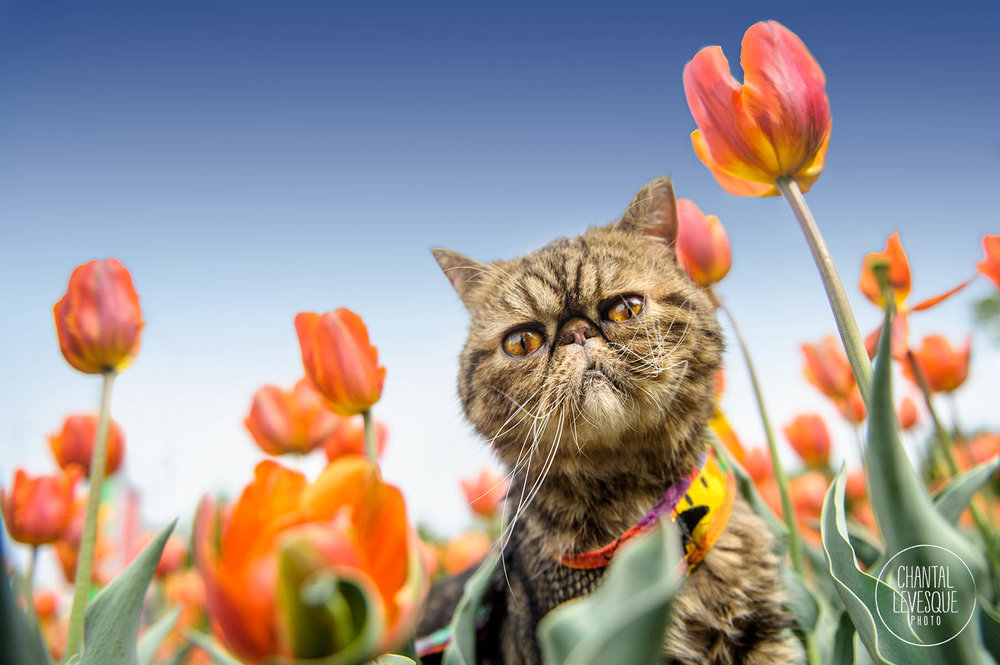 cat-photography-tulips-montreal.jpg