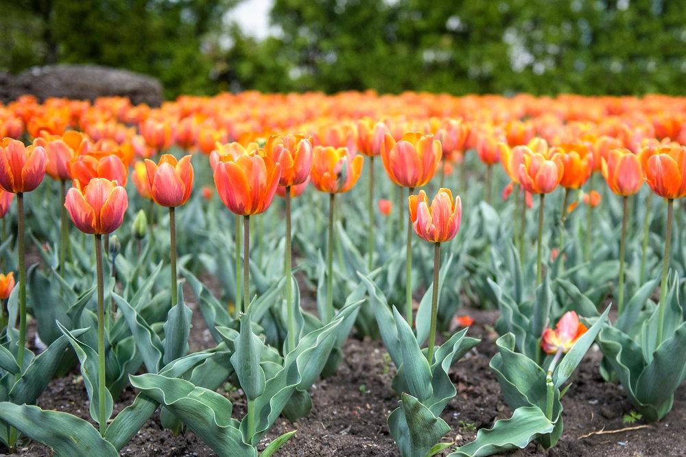 tulips-montreal