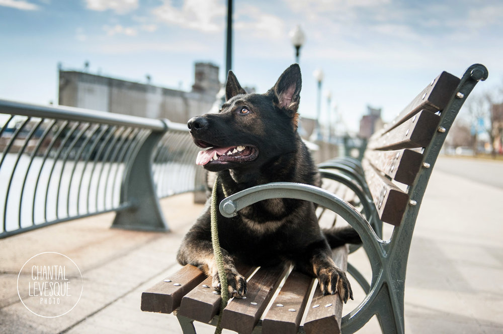 german-shepard-photo-port-montreal