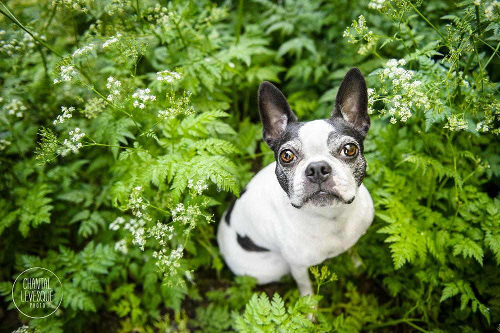 boston-terrier-portrait-photography