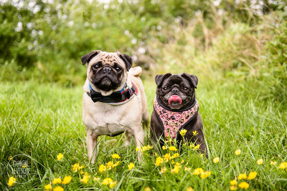 pugs-flowers-photography-quebec