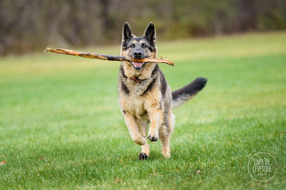 german-shepherd-action-photography
