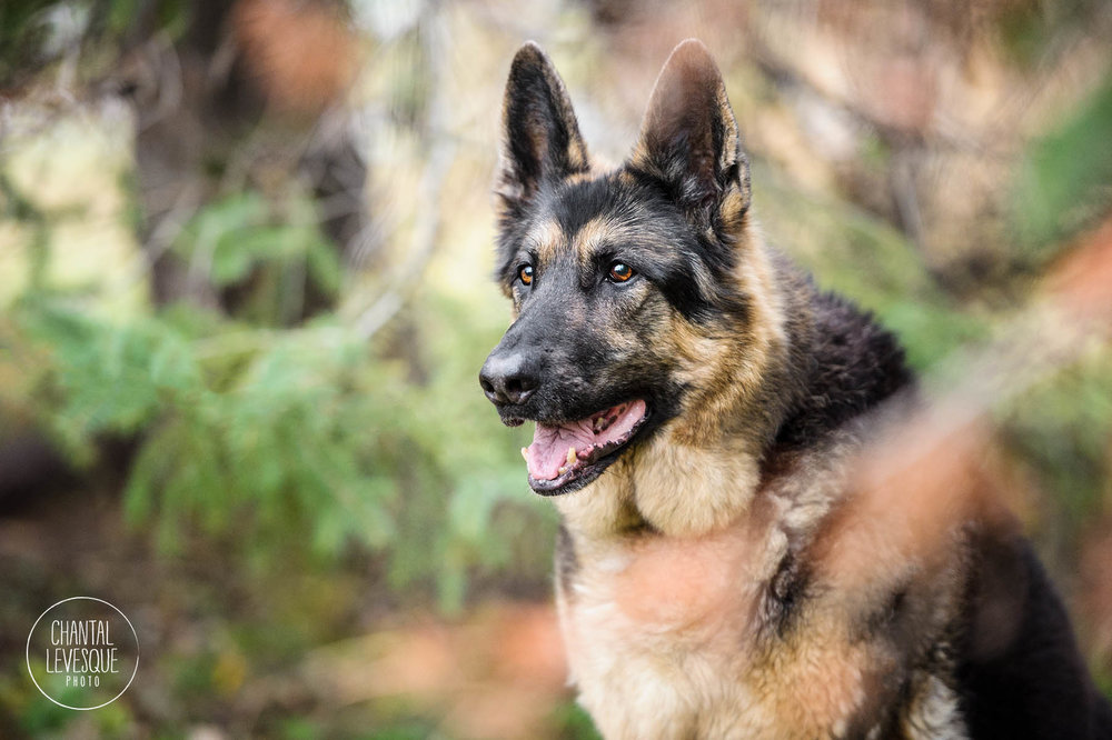 german-shepherd-nature-photographer