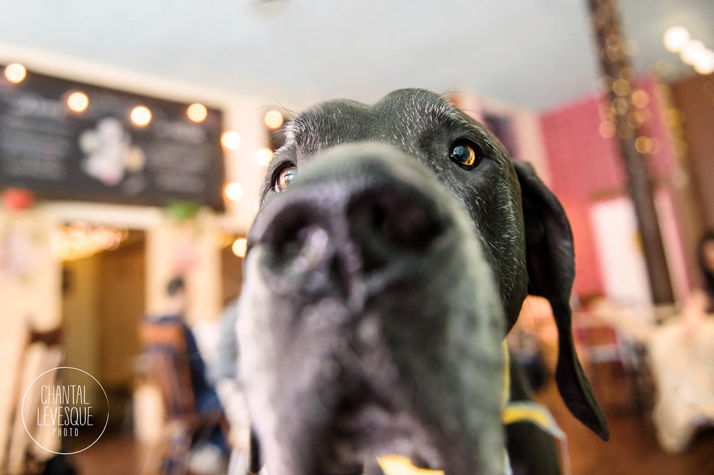 Great-Dane-photography