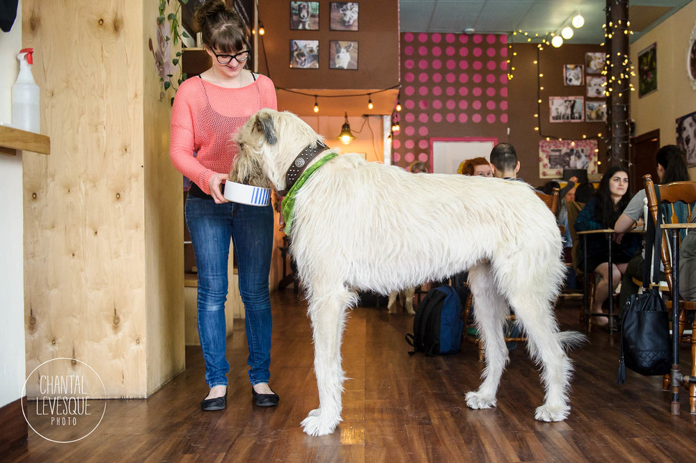 Irish-wolfhound-photography
