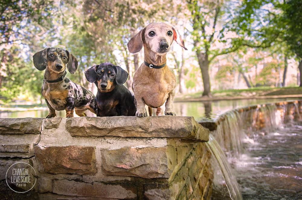 chiens-saucisses-photographie-montreal