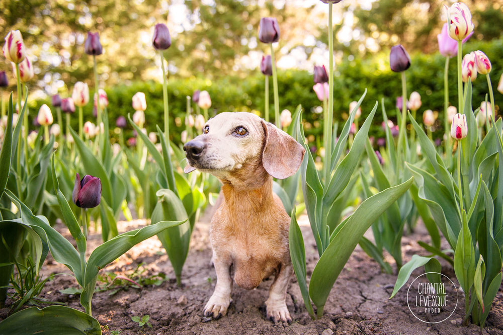 teckel-tulipes-photographie