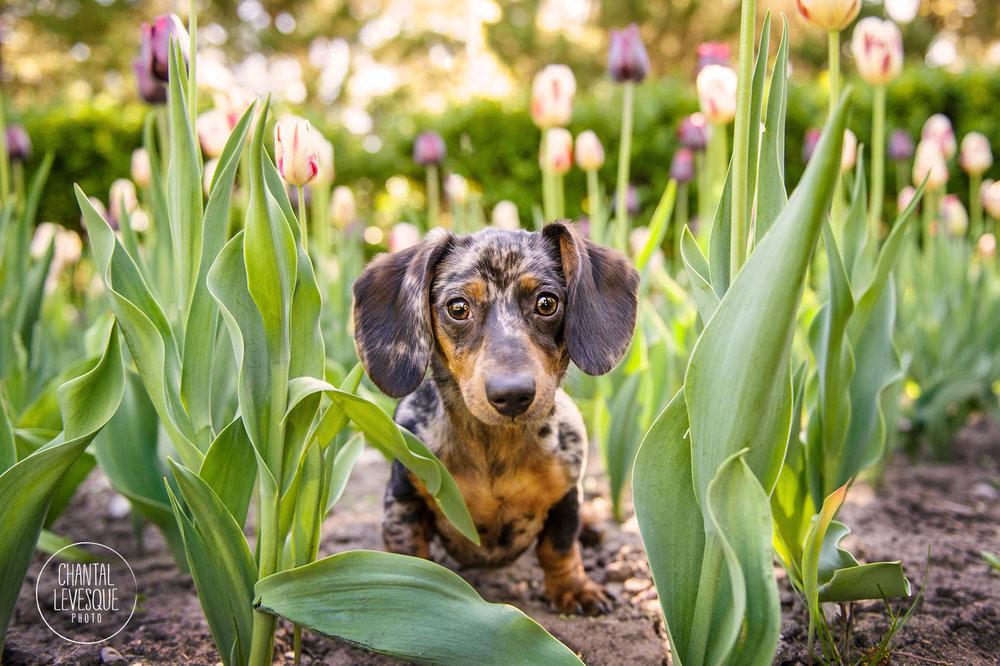 daschund-photographer-tulips-westmount
