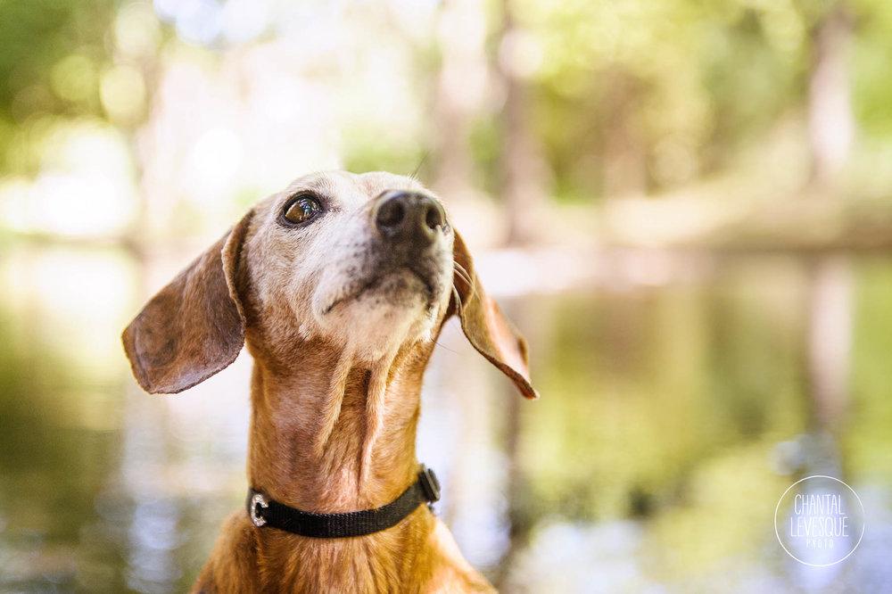senior-dog-photography-westmount