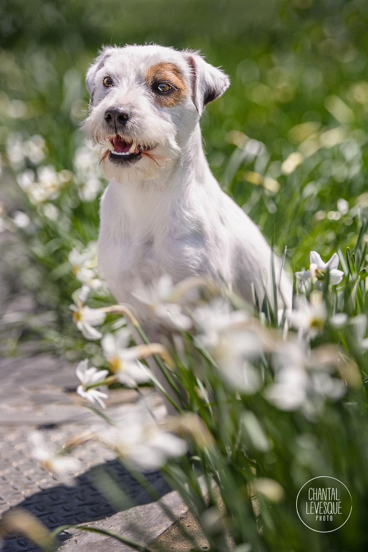 jack-russel-terrier-flowers