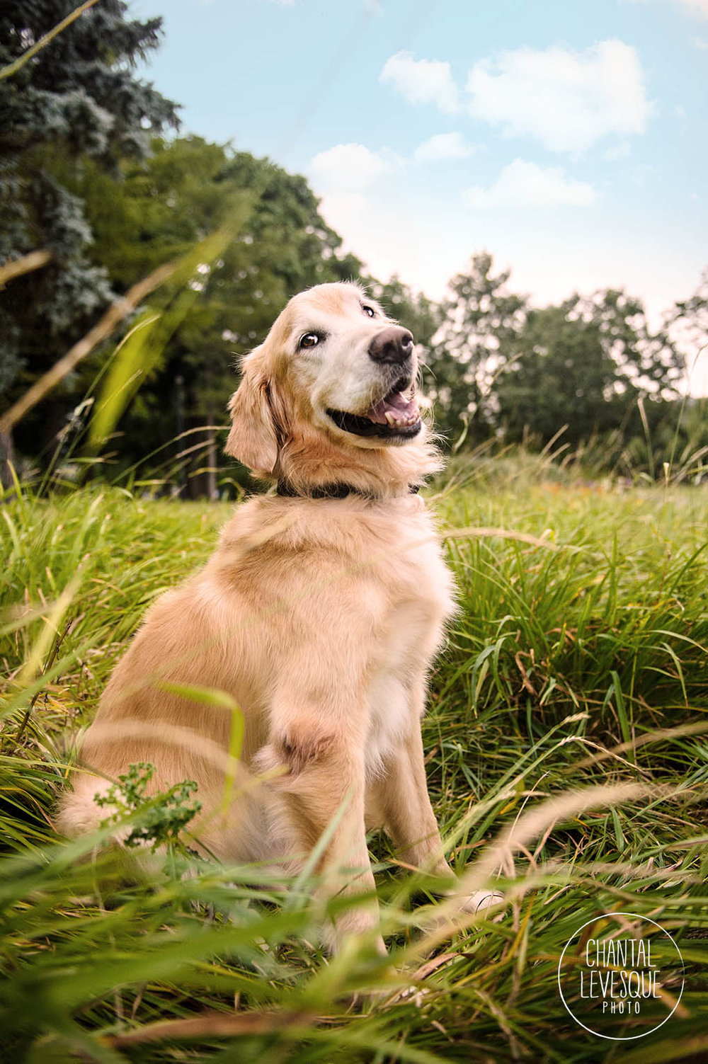 goofy-golden-retriever-photographer