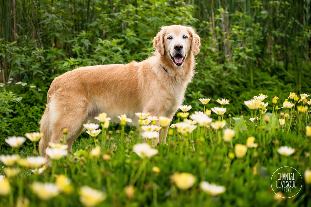 golden-retriver-photographer-park-jarry