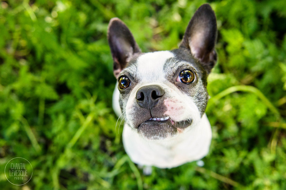 Boston-terrier-photographie