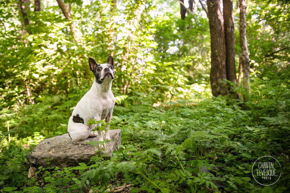 boston-terrier-nature-photography