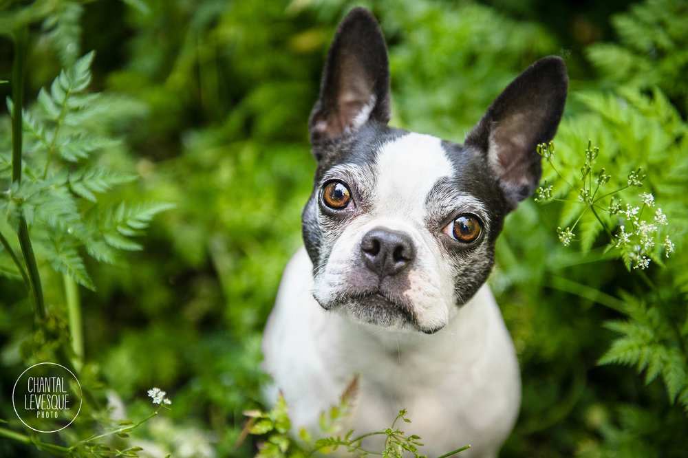 boston-terrier-photographe-montreal