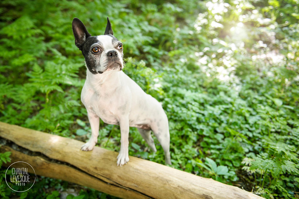 boston-terrier-photographe-lifestyle