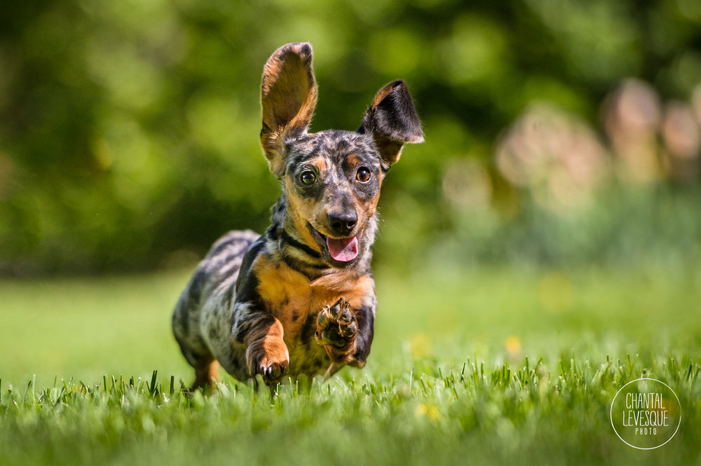 doxie-puppy-running