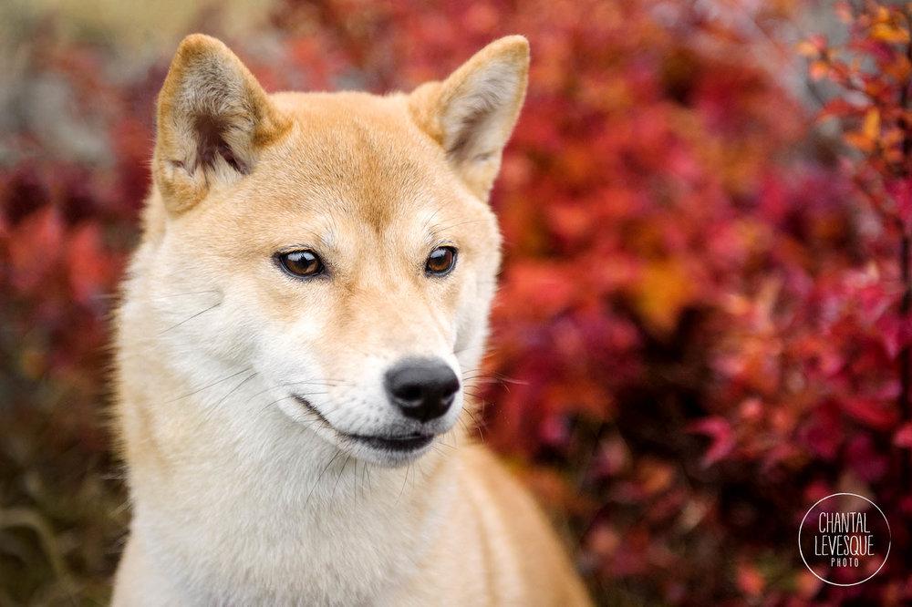 portrait-chien-montreal