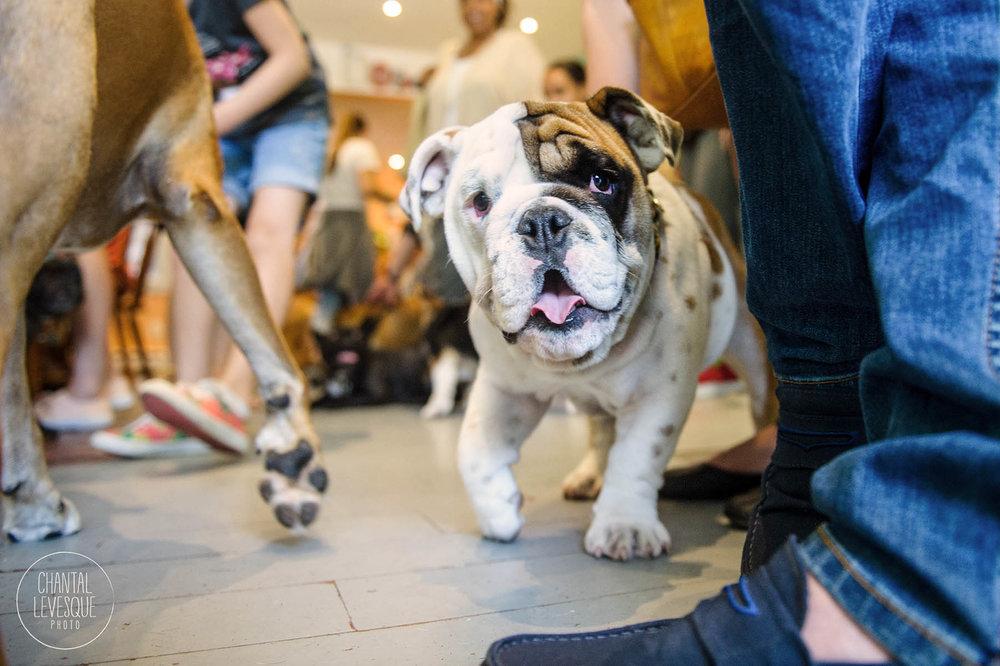 bulldog-puppy-montreal