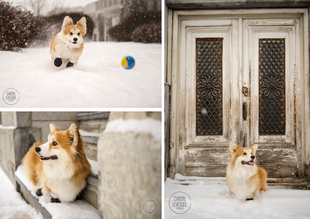 corgi-photography-old-montreal