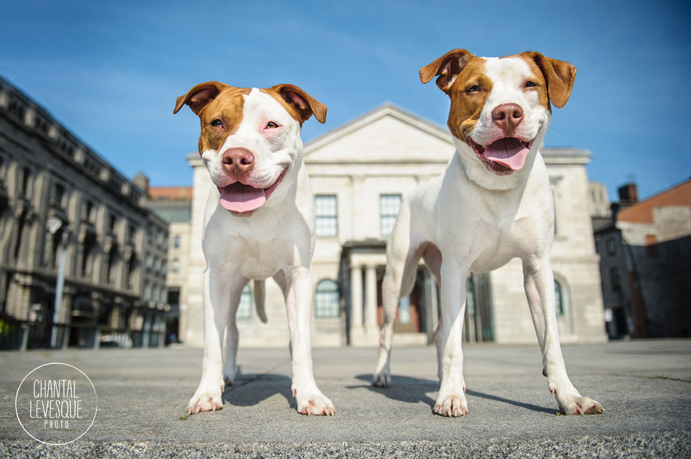 pitbulls-portrait-old-montreal