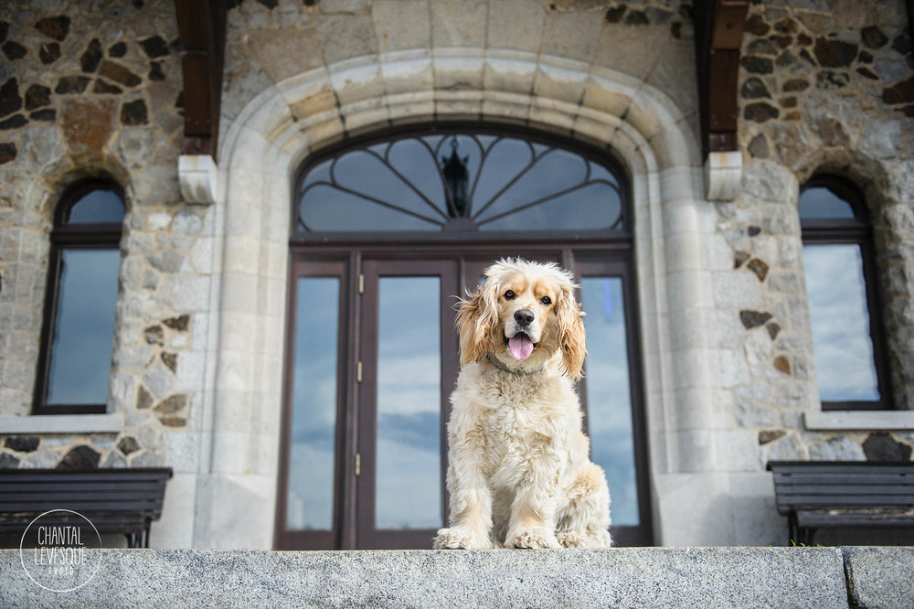 spaniel-mont-royal