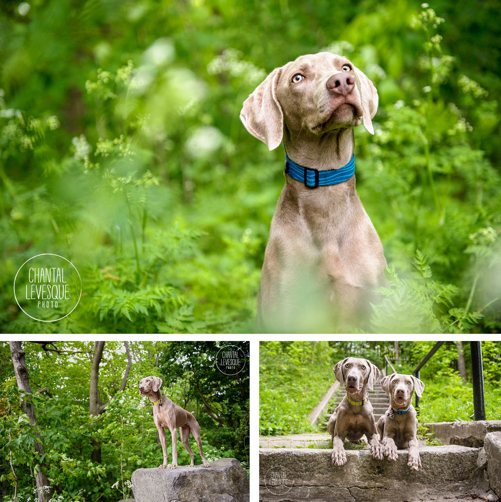 weimaraner-photography-mount-royal