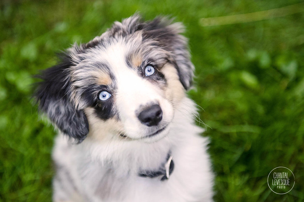 australian-puppy-photography.jpg